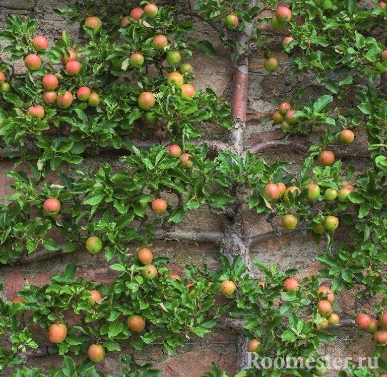 Шпалерная яблоня