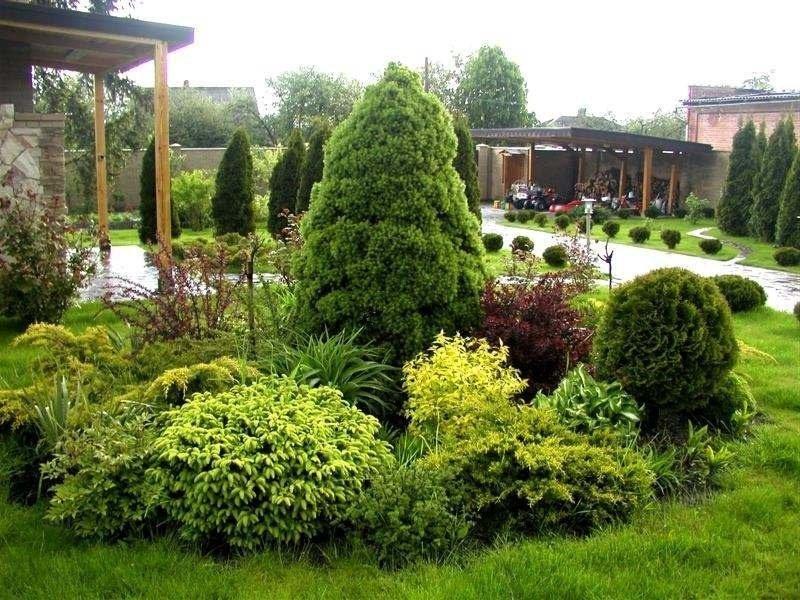 Тисовые растения на участке