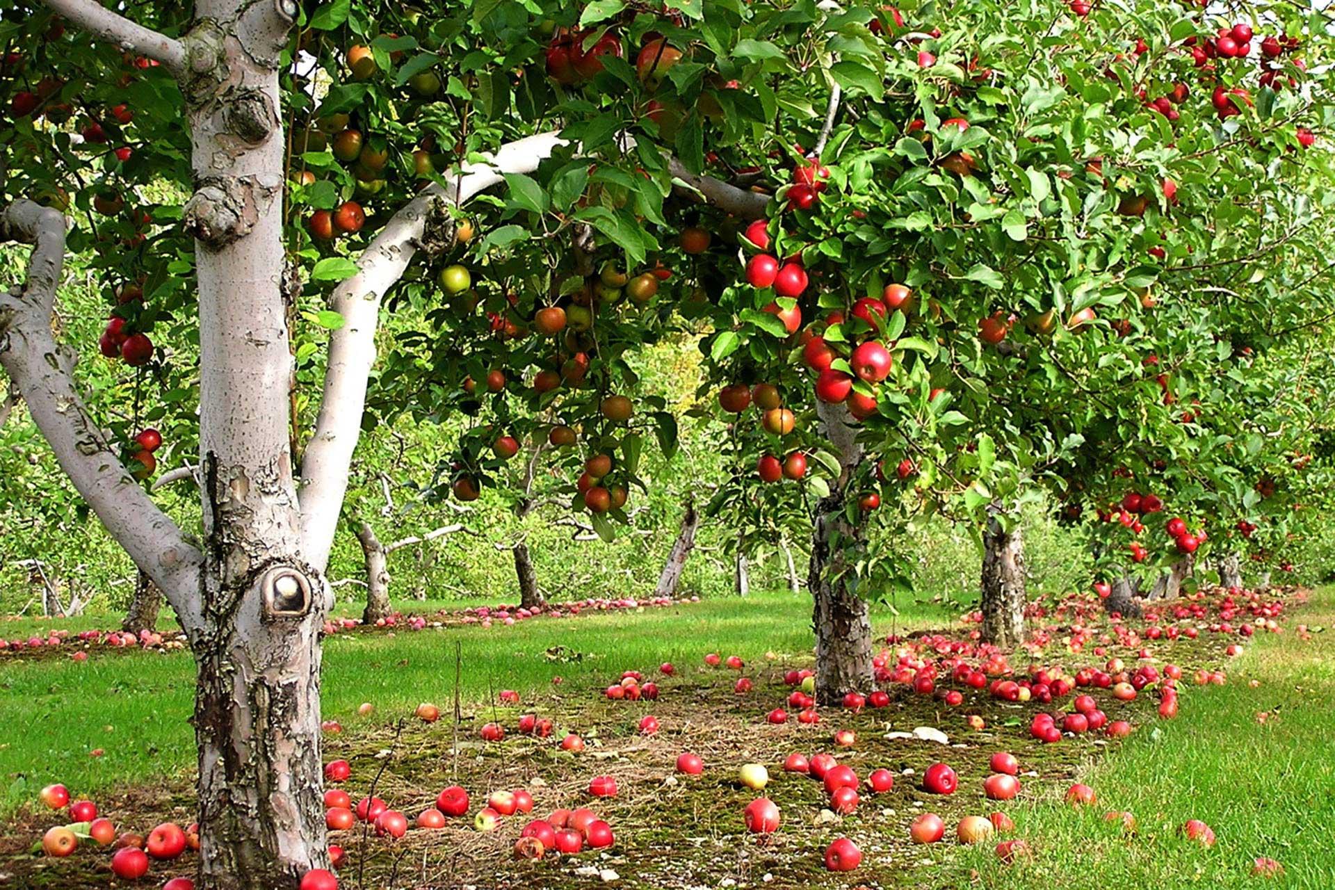картинки сад с яблонями витальевна чувствовала, что