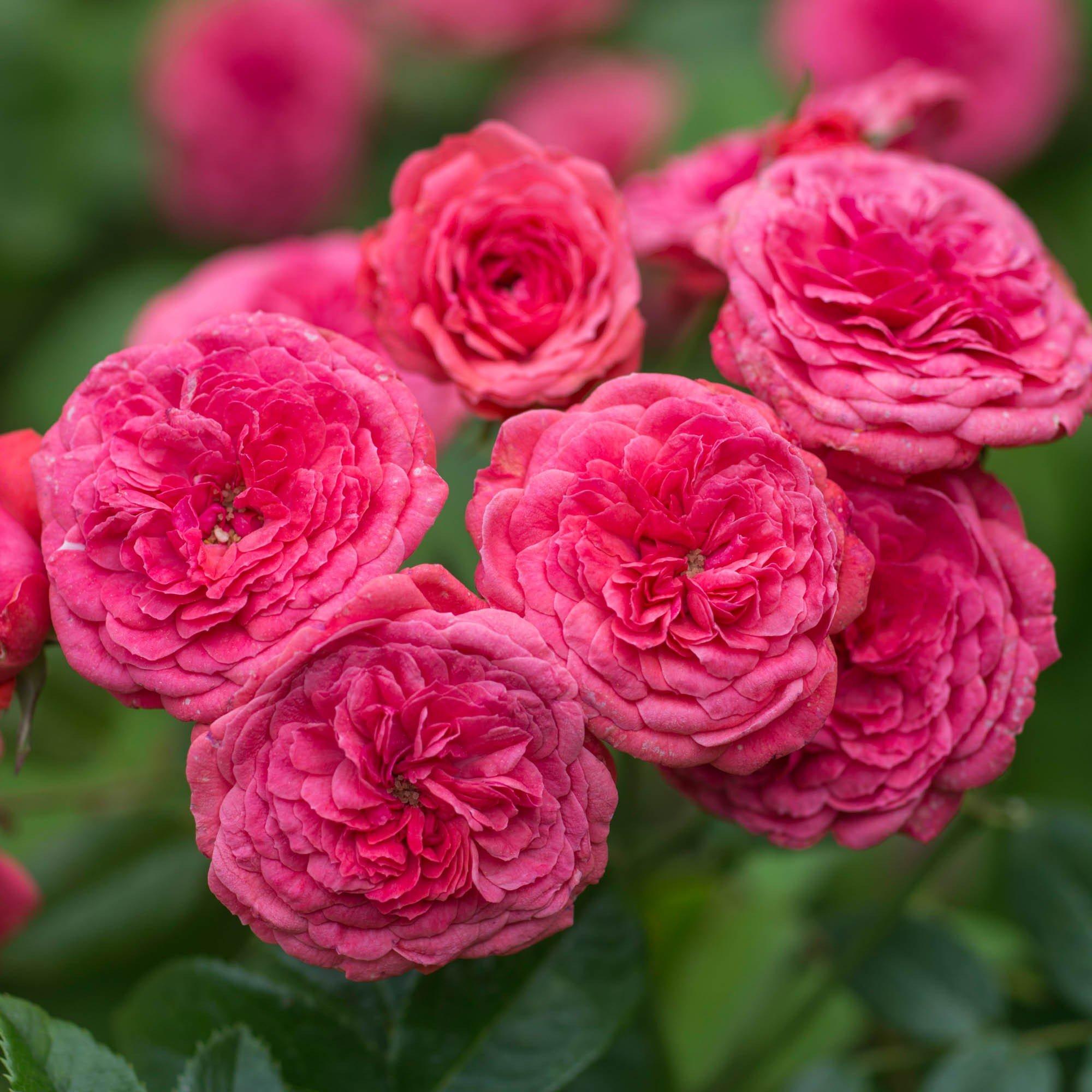 Ярко-розовые махровые розы