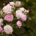 Пышное цветение куста роз