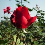 Цветение красной розы