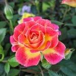 Желто-розовая роза