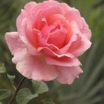 Нежность цветущей розы