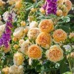 Персиковые розы в саду