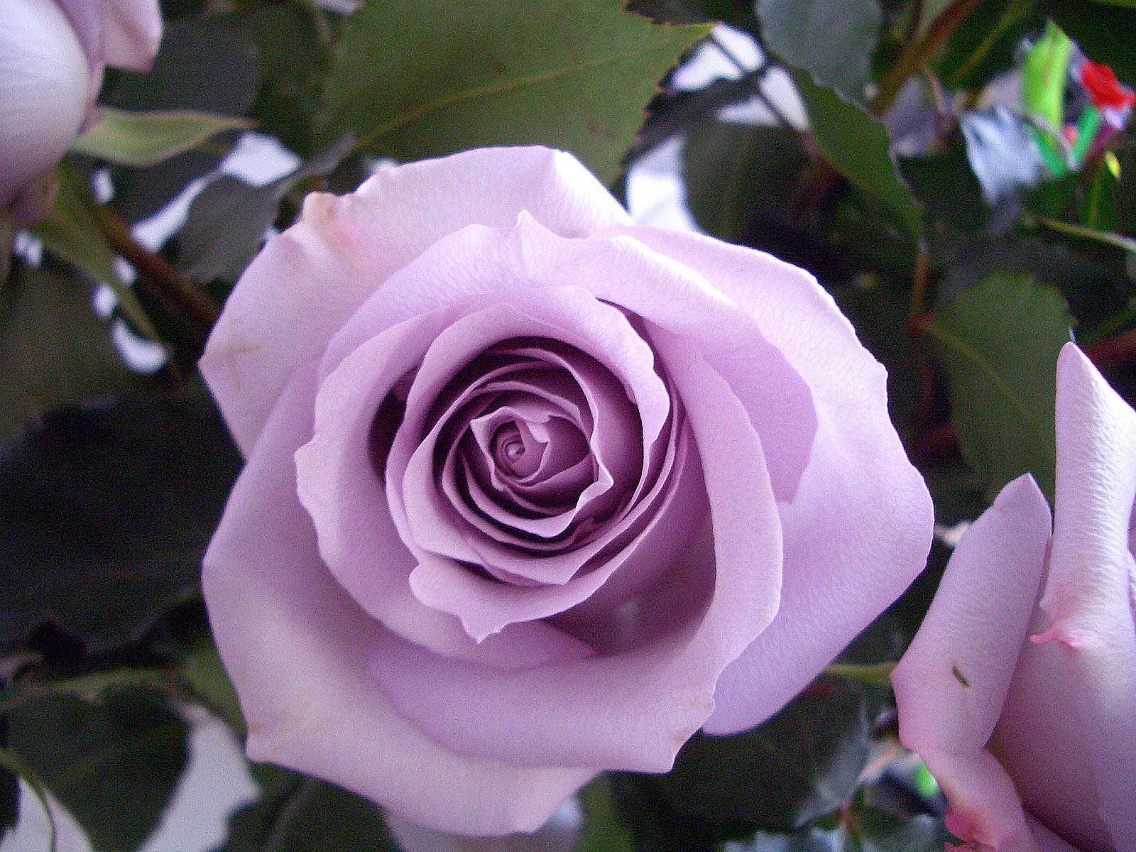 Сорт розы фиолетового цвета