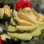 Цветок желтой розы