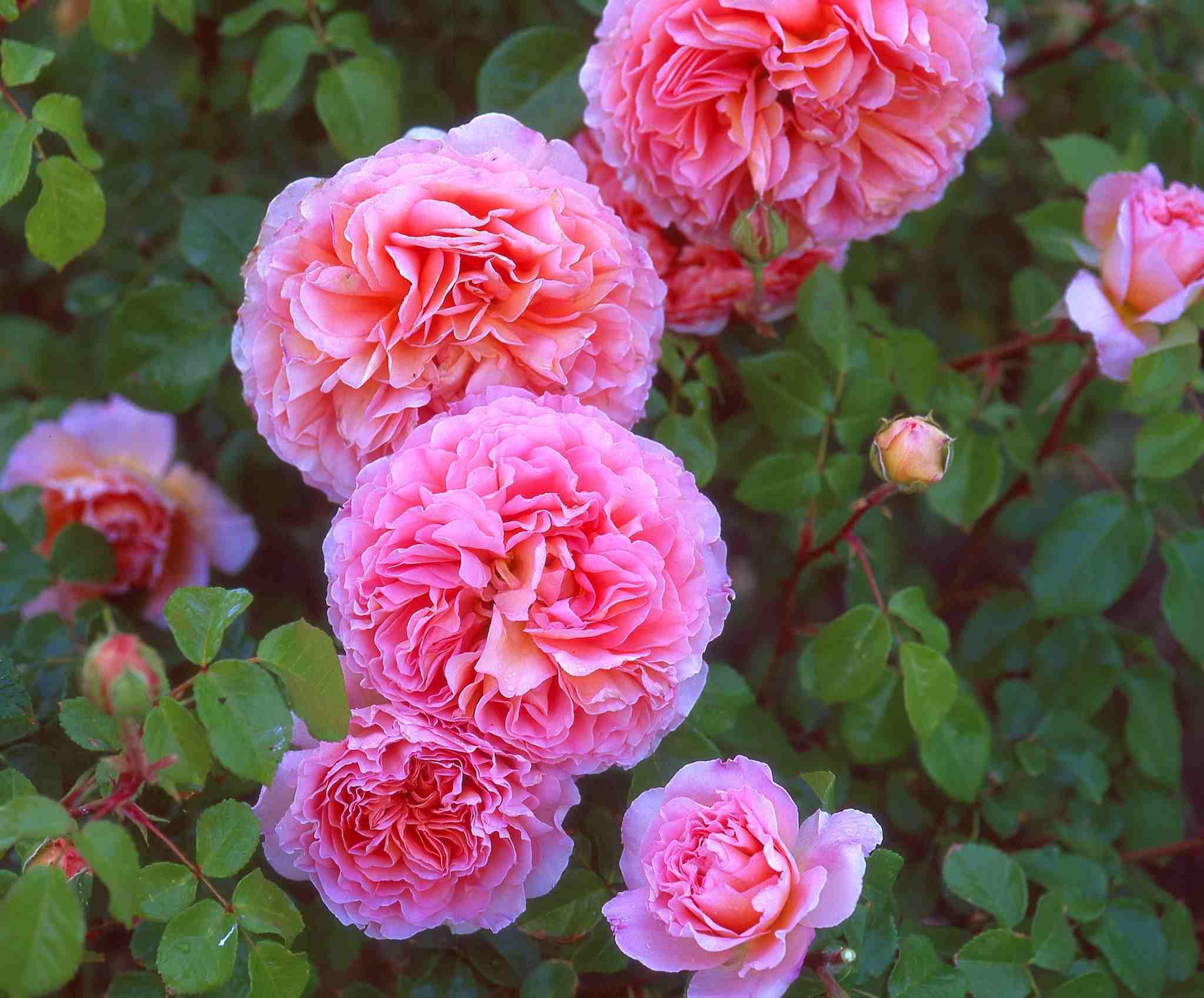 Махровые розы розового цвета