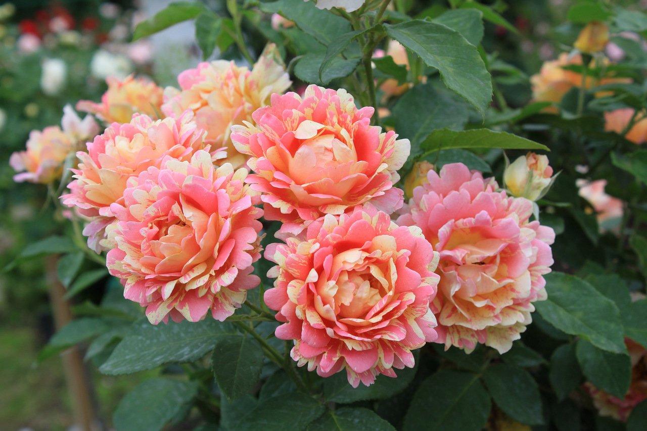 Необычный сорт роз