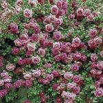 Пышное цветение роз