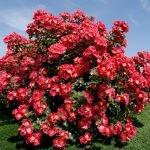 Пышно цветущий куст штамбовой розы