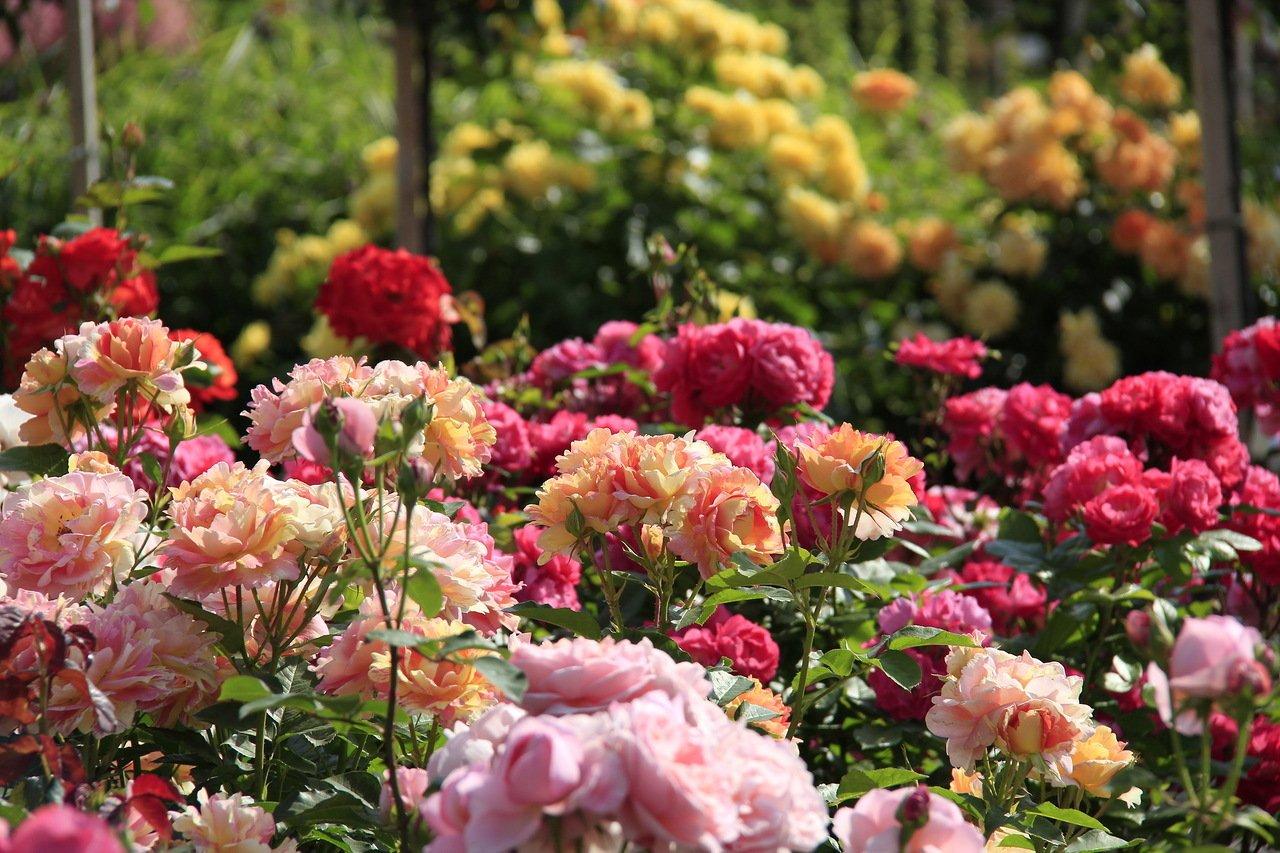 Цветение роз на клумбах
