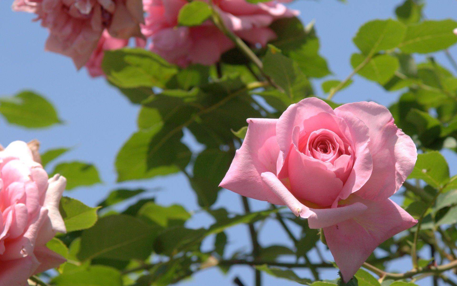 Розы в оформлении сада