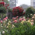 Красные, желтые и розовые розы в ландшафтном дизайне
