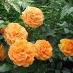 Махровые оранжевые розы