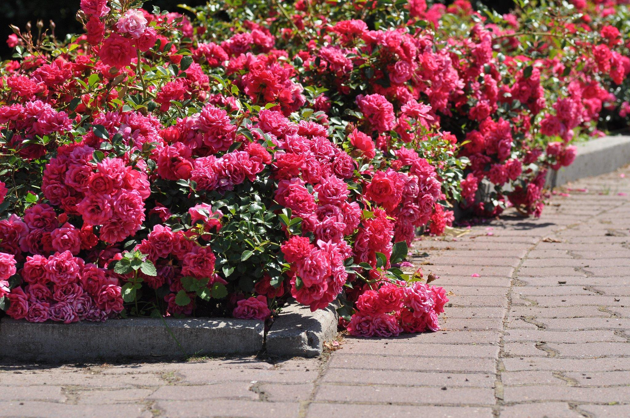 Бордюрые розы