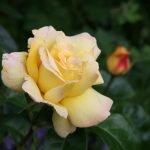 Роза светло-желтого цвета
