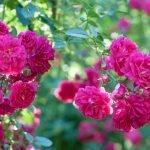 Ярко-малиновые розы