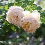 Цветение двух роз