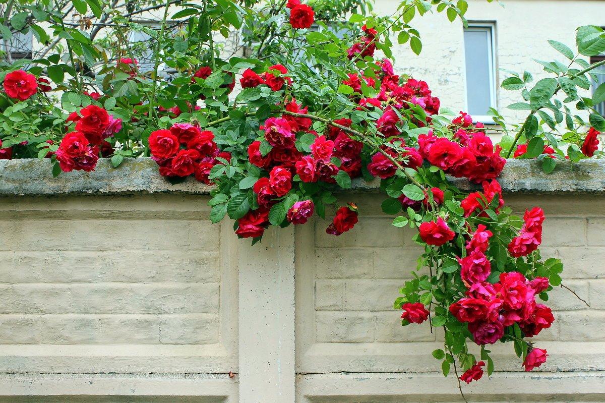 Плетистые розы на балконе