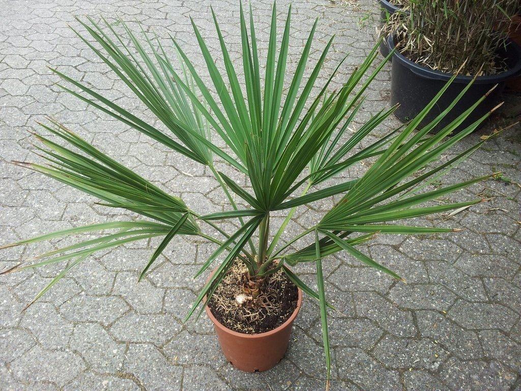 Комнатная пальма Сабаль