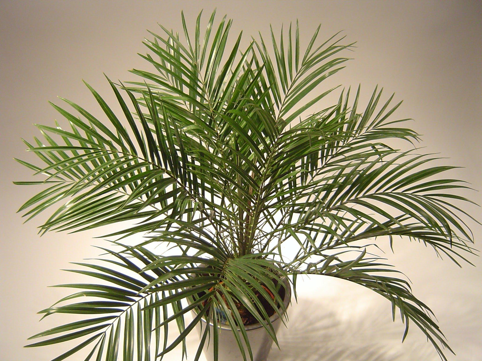 этой пальмы фото и названия комнатные нашил схему