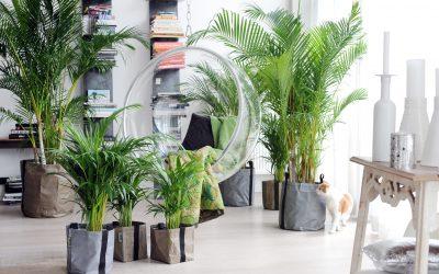 Комнатная пальма: виды и уход