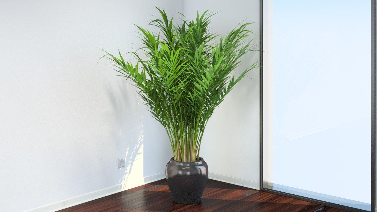 Комнатная пальма Бутия