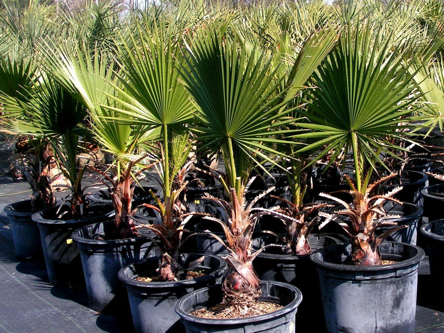 Освещенность для декоративных пальм