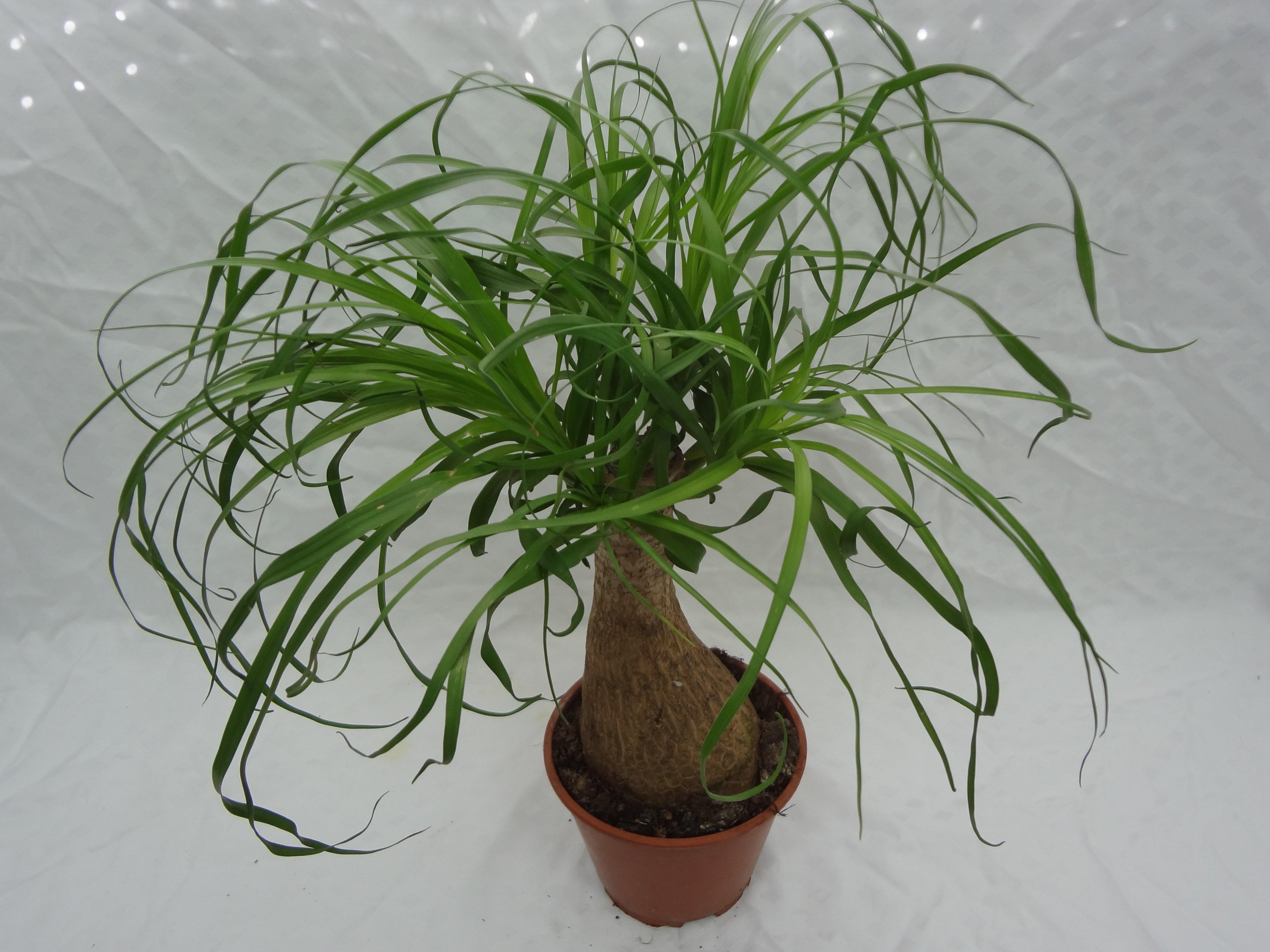 Комнатная пальма Гиофорба