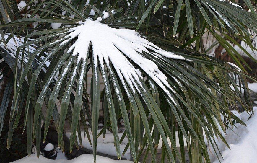 Температура для комнатной пальмы