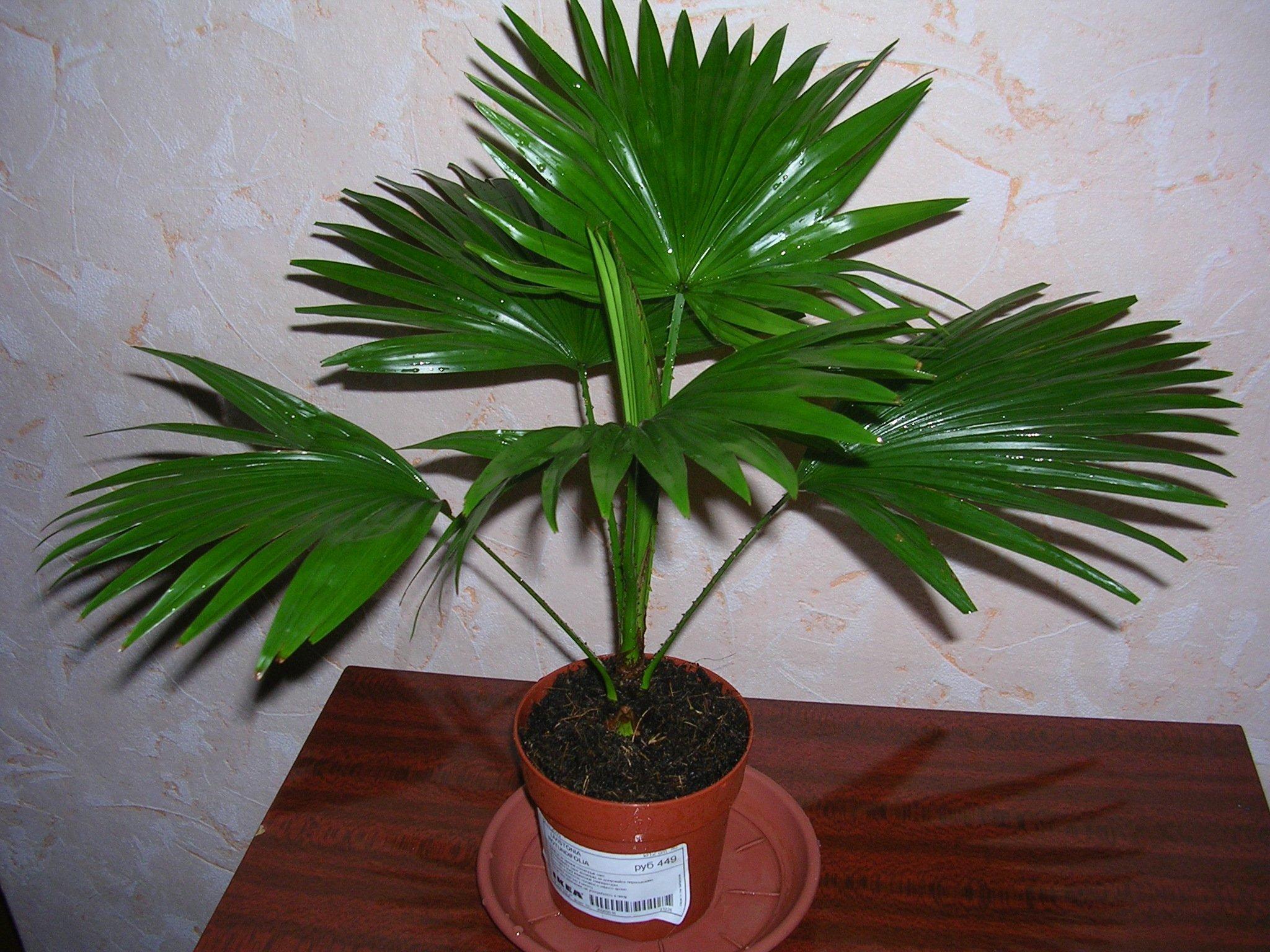 Комнатная пальма Ливистона