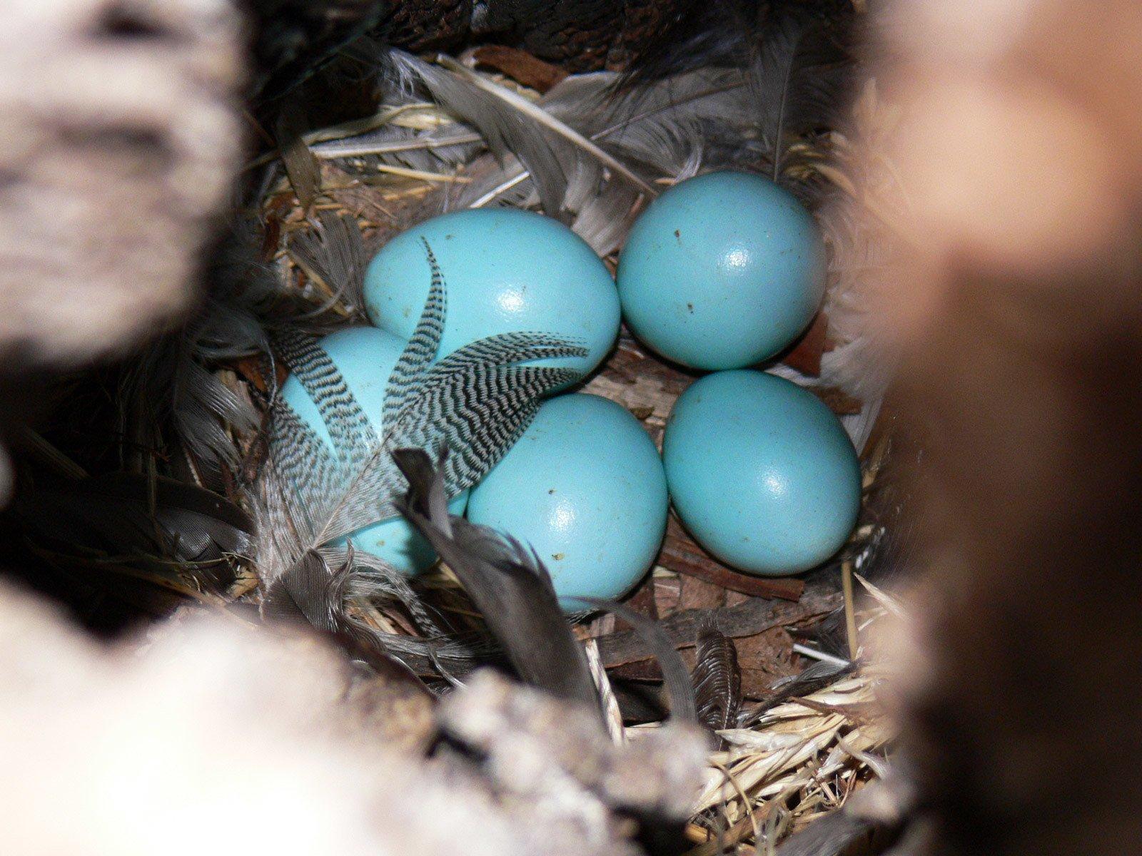 Яйца скворцов