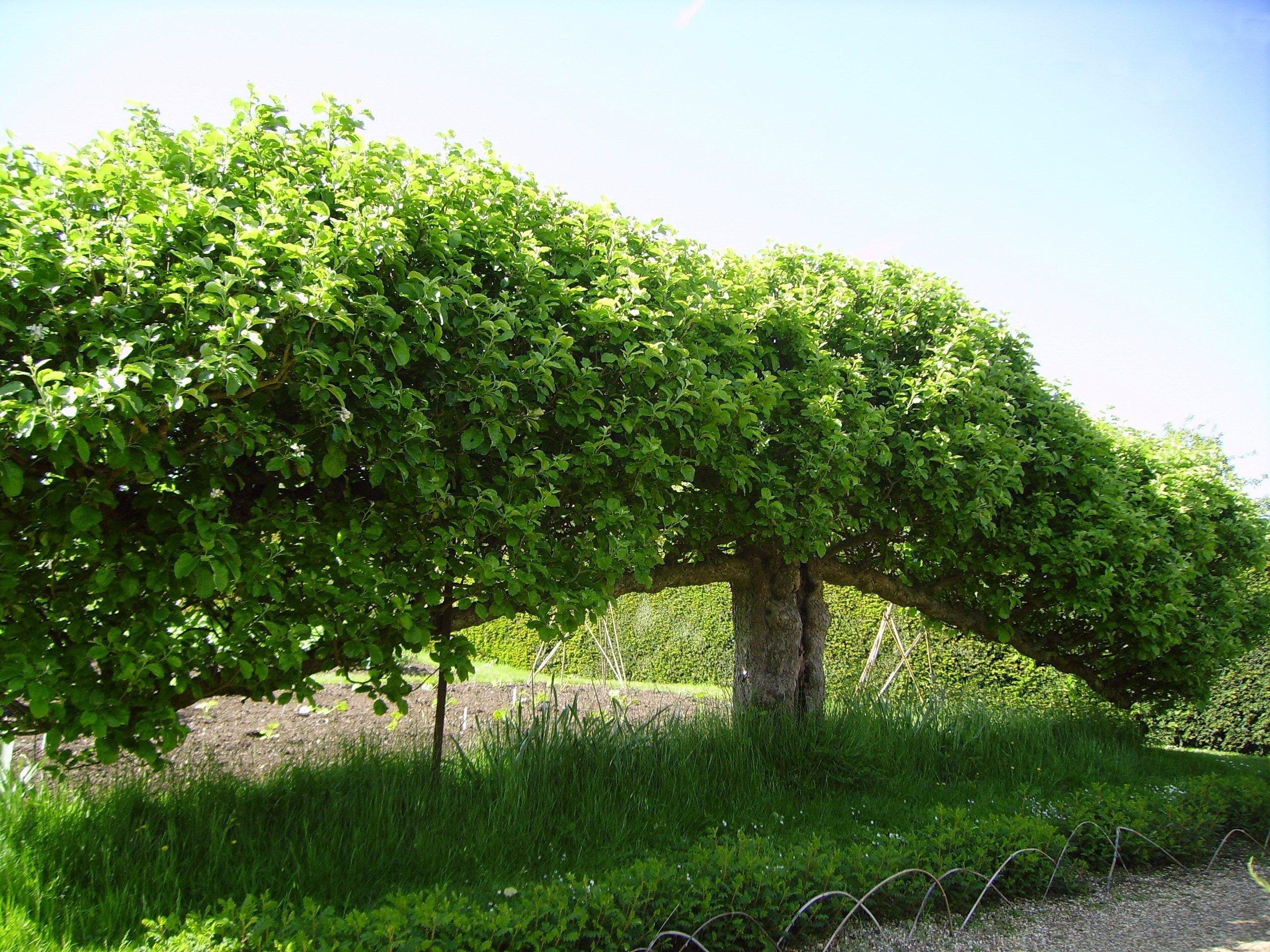 Дерево в качестве живой изгороди
