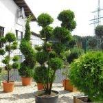 Деревья в садовых горшках