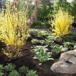 Декоративный кустарник с желтыми цветами