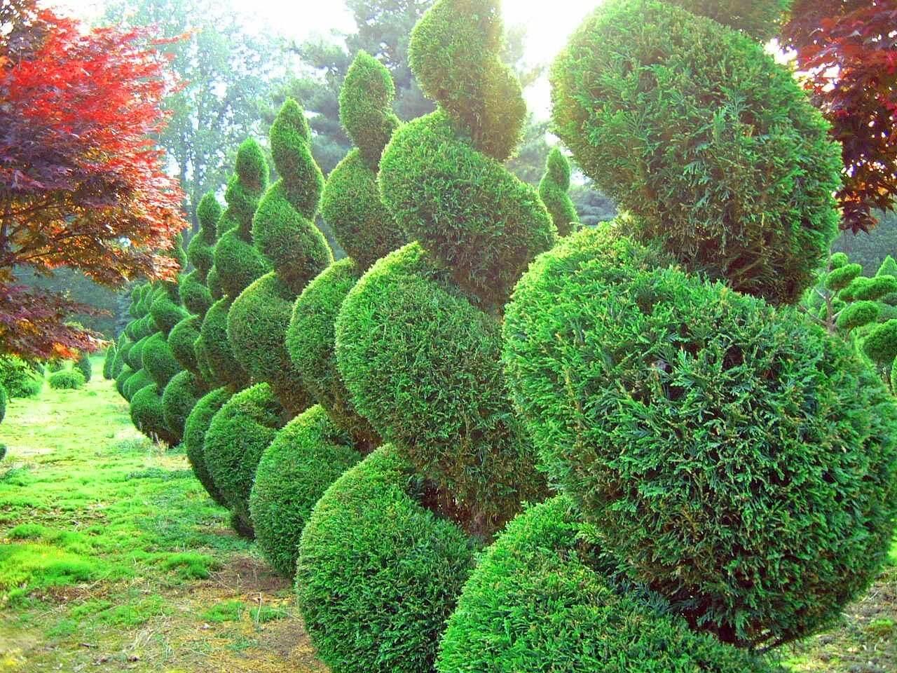 Спиралевидные декоративные деревья