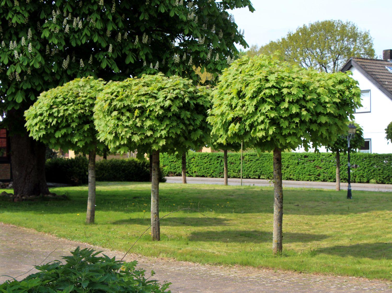 Лиственные деревья с декоративной кроной