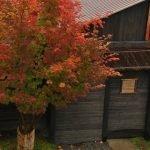 Лиственное дерево с красными листьями