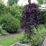 Плакучая форма декоративного дерева