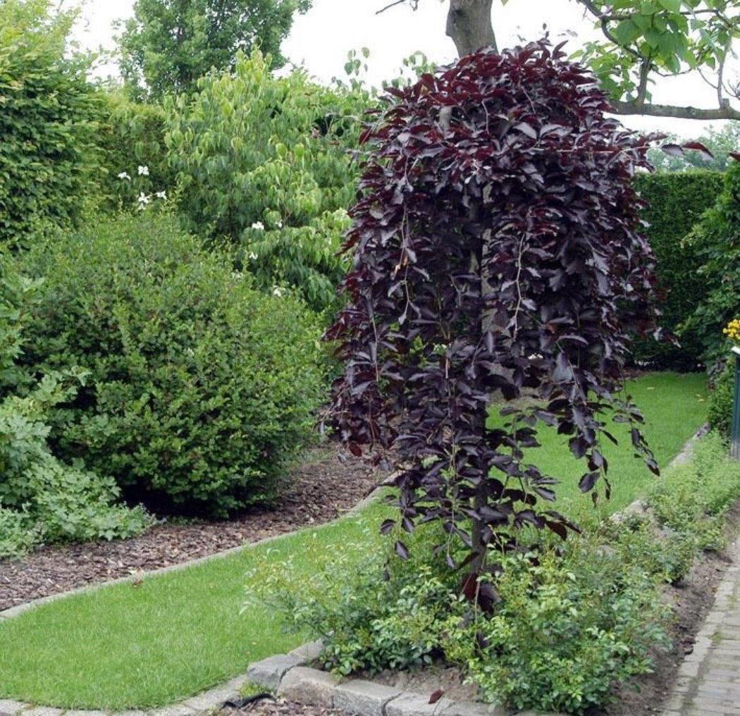 использовать декоративные лиственные деревья для сада фото с названиями токовых