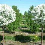 Деревья цветут в саду