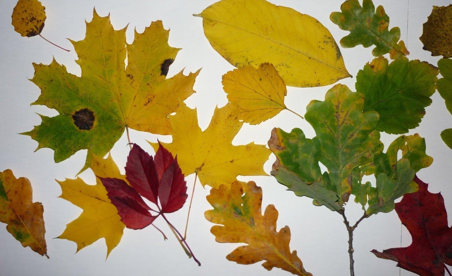как сделать гербарий из листьев деревьев фото этап, которого начинается