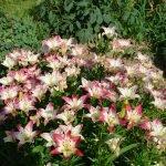 Двухцветные лилии