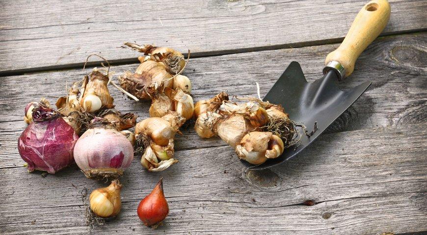 Посадка луковичных многолетников