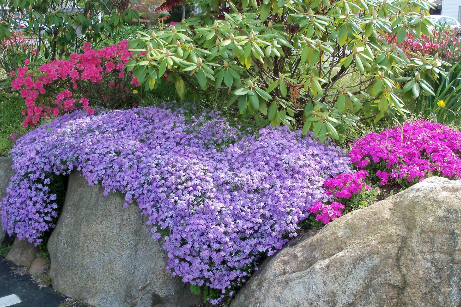 Фиолетовые низкорослые цветы