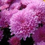 Розовые осенние цветы