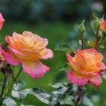 Желто-розовые розы