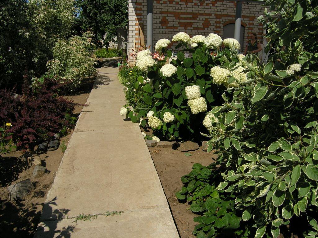 Куст роз возле дорожки
