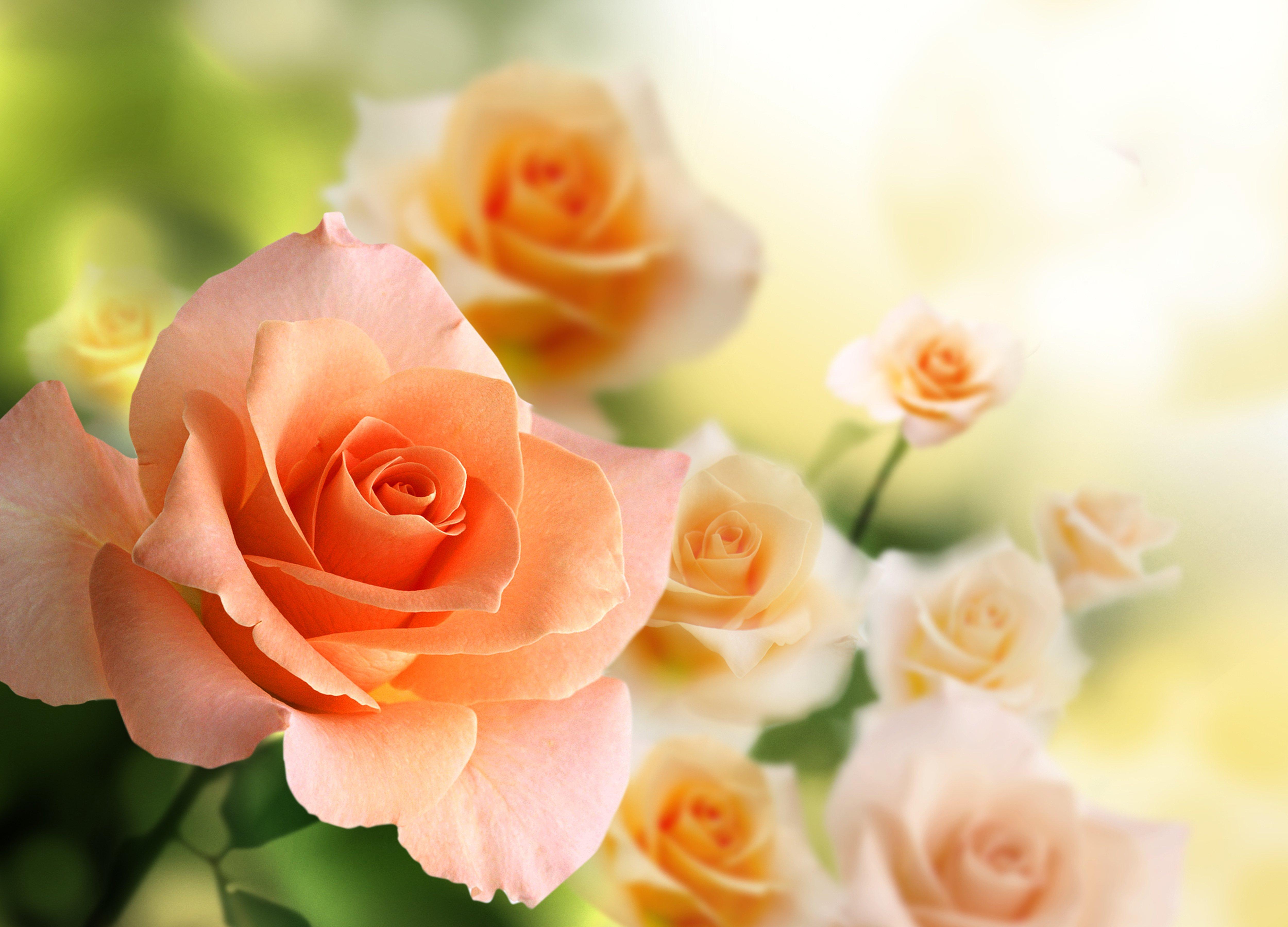 Картинки, фон с розами для открытки женщине